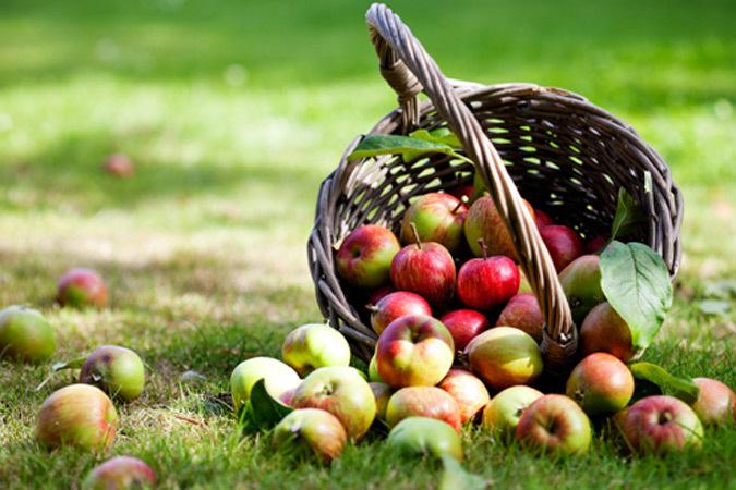 Сбор и хранение яблок