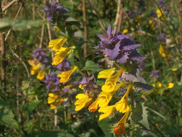 Полезные лекарственные растения: фото, названия и описание, какие есть многолетние лекарственные травы.