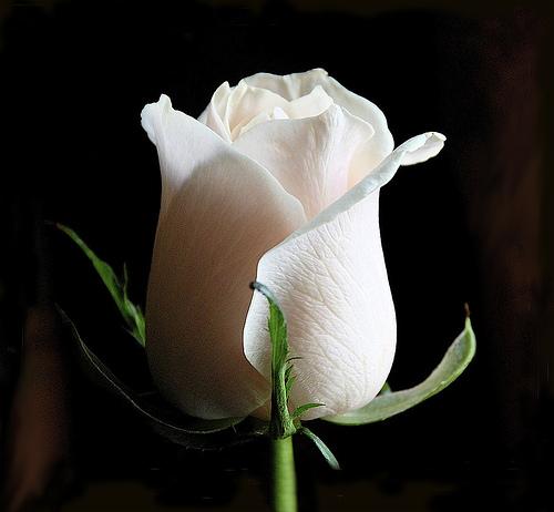 Белая роза картинка