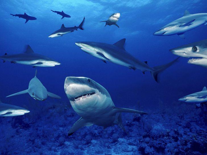 акулы []
