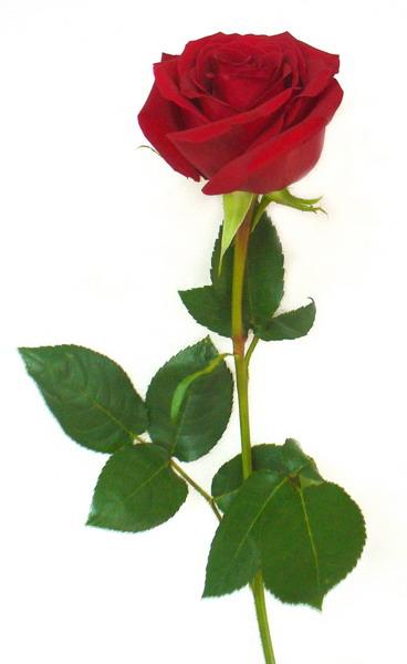 rose_red_600.jpg