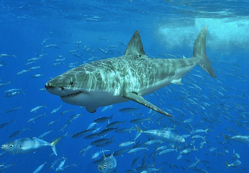 Белая акула скачать fb2