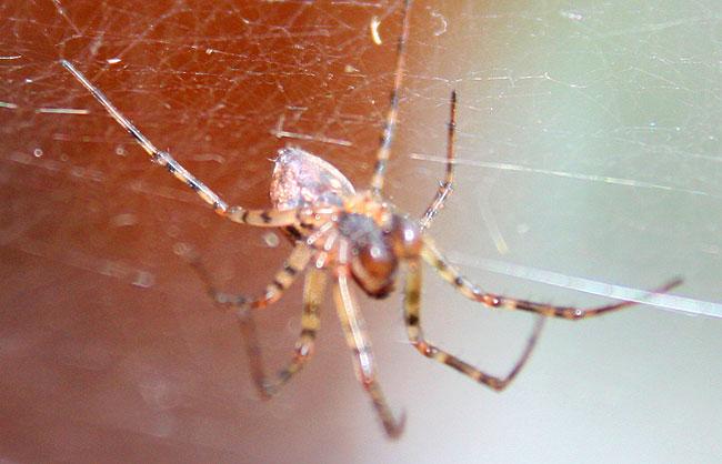 На снимке паук из семейства