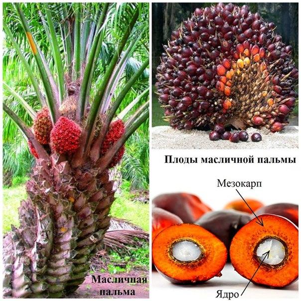 плоды пальмового дерева фото