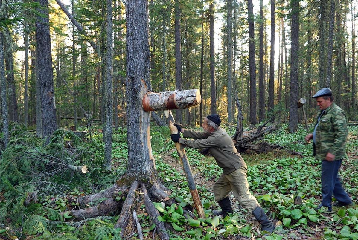 Сбивание кедровых шишек Пвыел Алексеевич Кучер