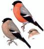 Pyrrhula pyrrhula), птица семейства вьюрковых отряда воробьиных.  Длина тела около 18 см