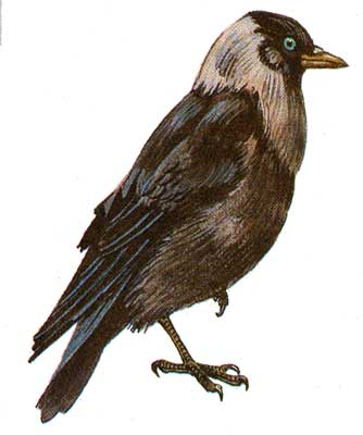 Голова сверху и шея серые, остальное оперение сверху чёрное.