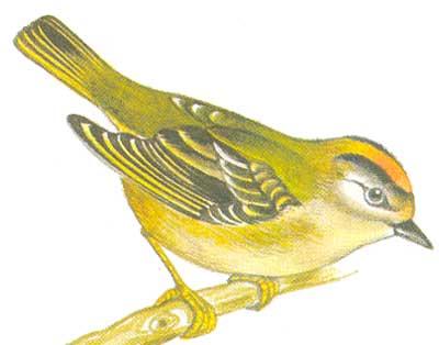 Общая окраска верха у взрослых. птиц...