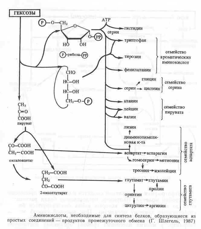 биосинтеза белков в клетке