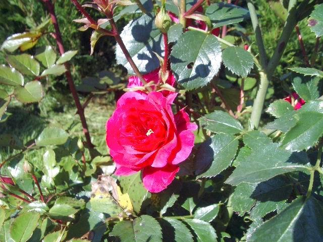 Роза желто розовая сорт