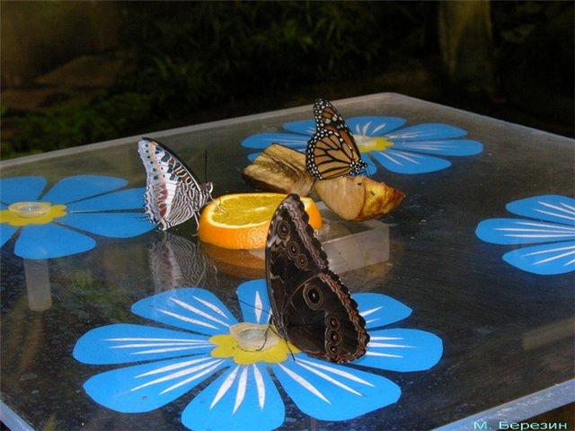 При средней комнатной температуре 23-25 градусов Цельсия тропических бабочки чувствуют себя прекрасно...