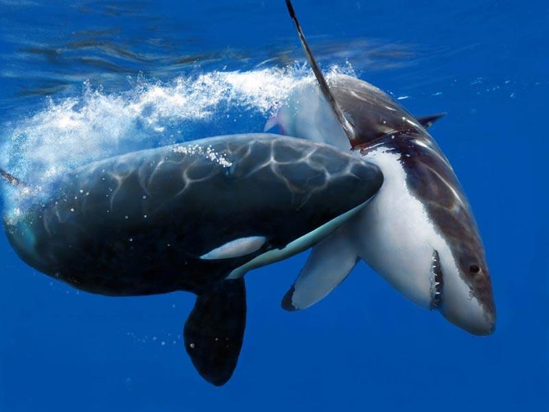 видео кто сильней касатка или белая акула видео