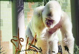 Горилла-альбинос []