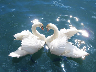 Лебеди инет